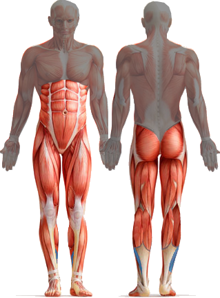 core muscles diagram